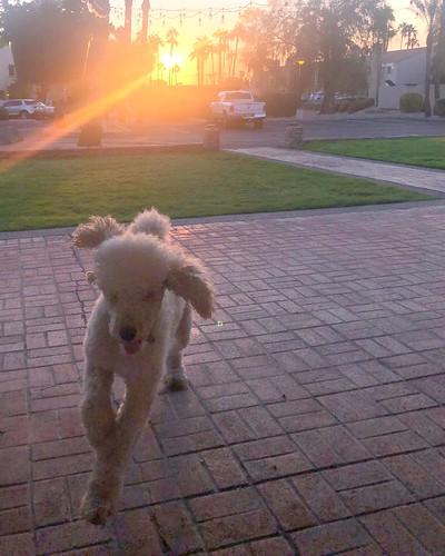 sunrise dog poodle standardpoodle