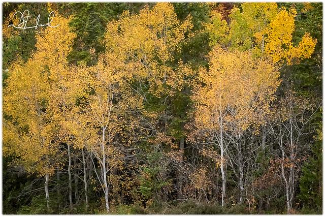 poplar yellows