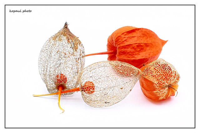 Physalis hell