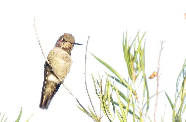 Young Mr Anna's hummingbirdWeek 42 CC