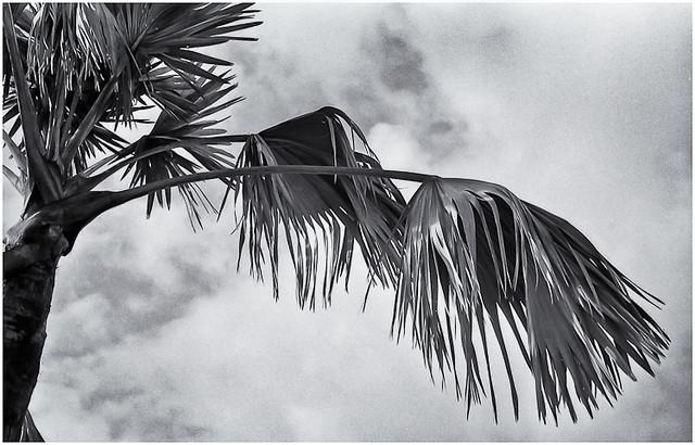 Palma (Palm Tree)
