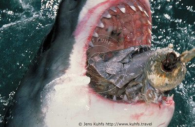 The great white shark, Carcharodon carcharias, White Shark, South Africa