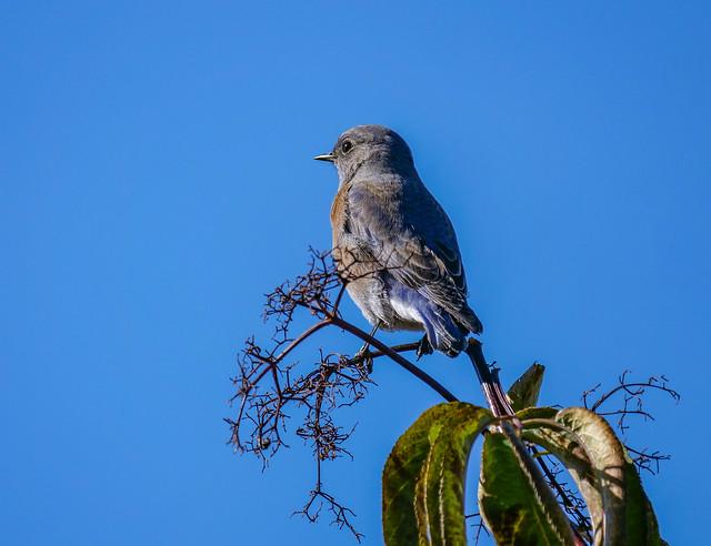 Western Bluebird on elderberry