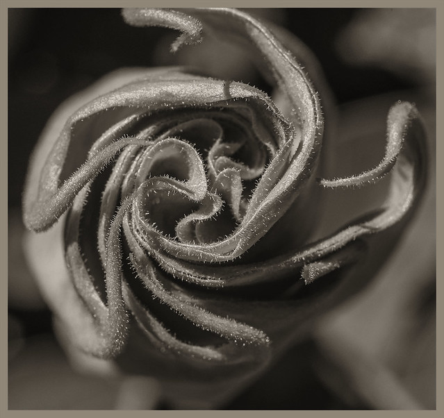 Flowers #119 2020; Sacred Datura