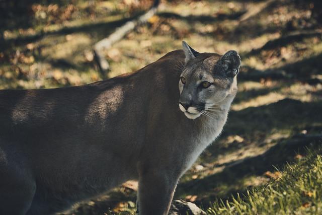 Golden Cougar