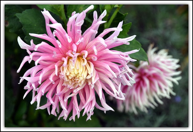 Flower Of The Day - Dahlia