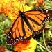 monarch20