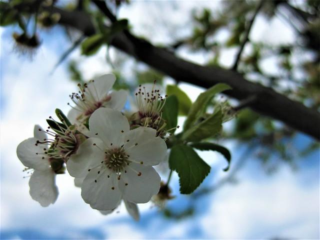 Spring Almond Blossom