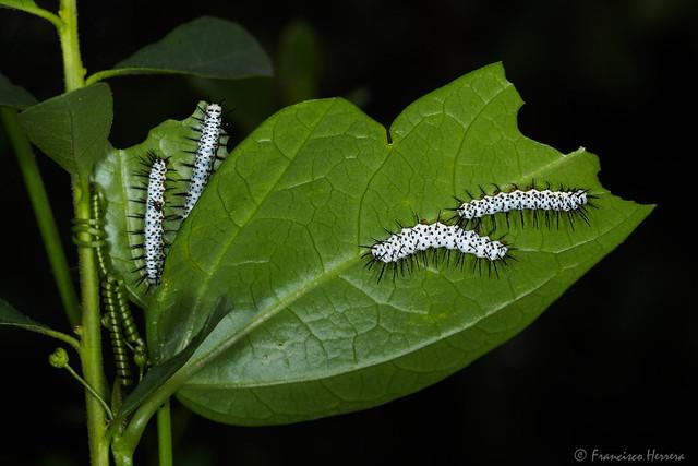 Zebra longwing caterpillar - Heliconius charithonia