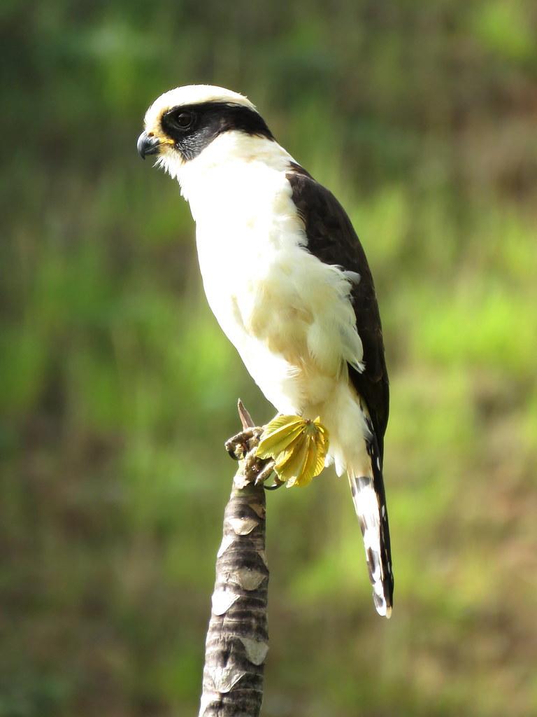 """Este confiado Halcón culebrero es también denominado """"El Oso Panda"""" de las aves por su contraste Blanco/Negro. Suele reposar inactivo por largo rato, condición que favorece poder apreciarlo en detalle."""