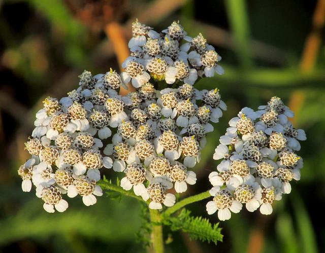 Yarrow (Achillea millefolium) 2020-09-16. Parc Slip, Aberkenfig, South Wales