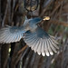 scrub_jay_feeder_20201018_167-Edit