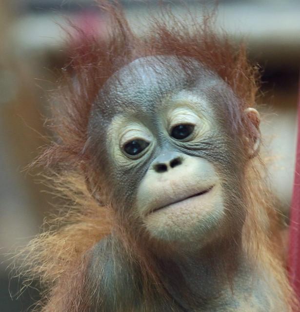 Borneo orangutan Minggu Ouwehand 094A1027
