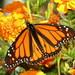 monarch2020