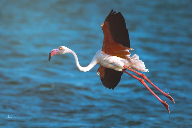 Flamingo up
