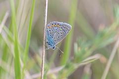 Argus Bleu – Common Blue – Polyommatus icarus