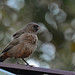 Abert's Towhee at Sunset