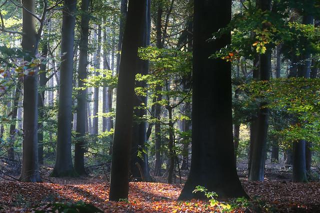 Beloved Beech Forest Series