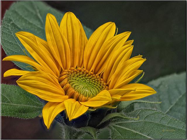 2020-09-01 09-26-46 (C,Smoothing4)29 Sonnenblume II