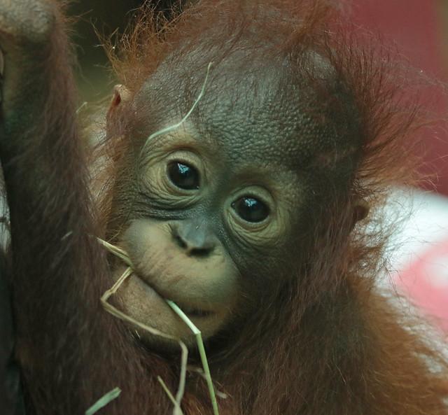 Borneo orangutan Minggu Ouwehand 094A1089