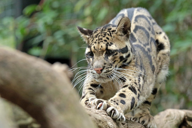 clouded leopard Ouwehand 094A0131