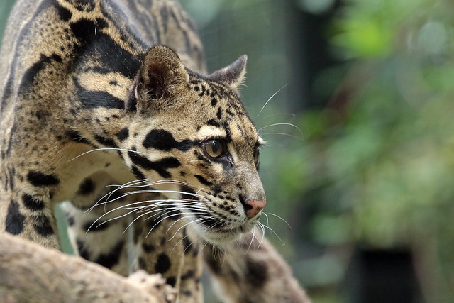 clouded leopard Ouwehand 094A0150