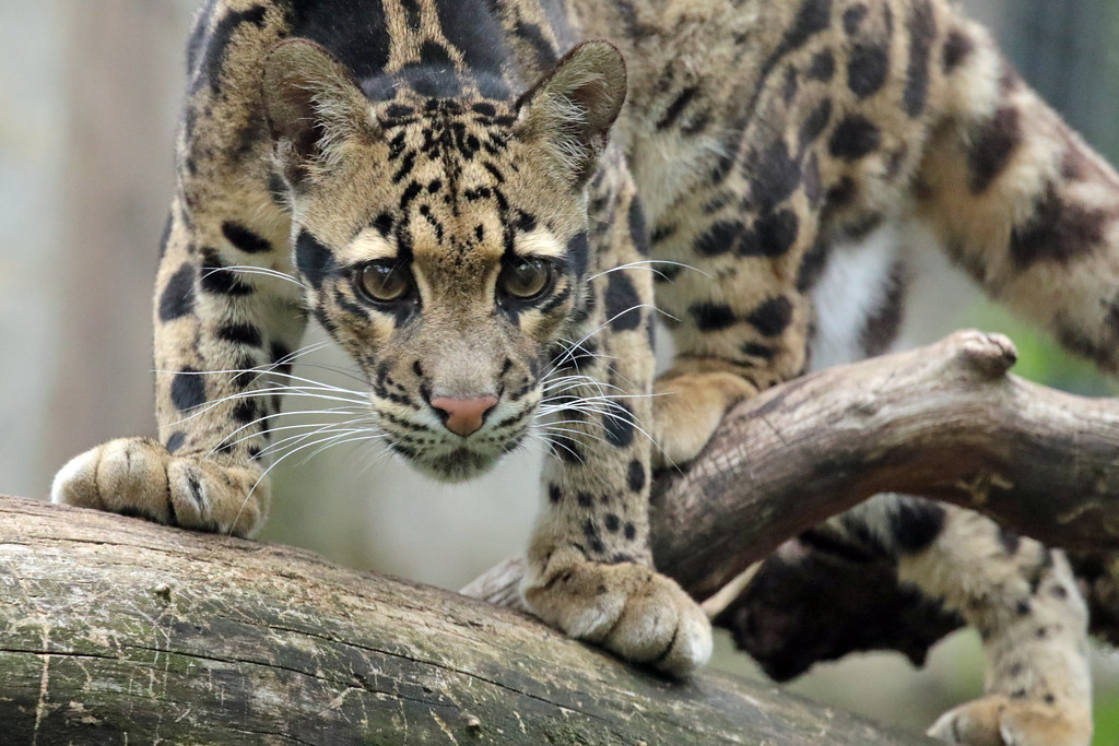 clouded leopard Ouwehand 094A0171