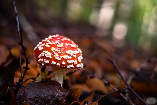 Fly mushroom