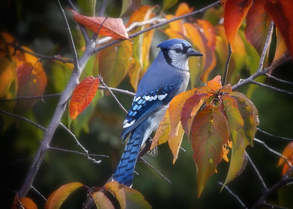 Geai Bleu en automne