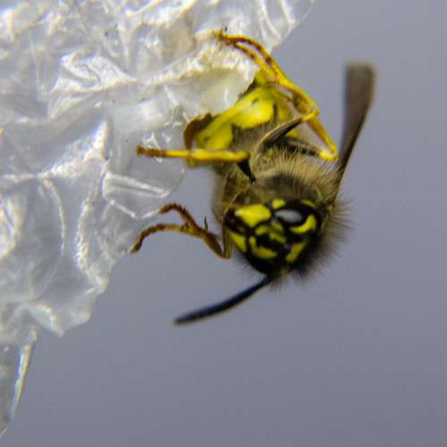 Wasp on bubble wrap
