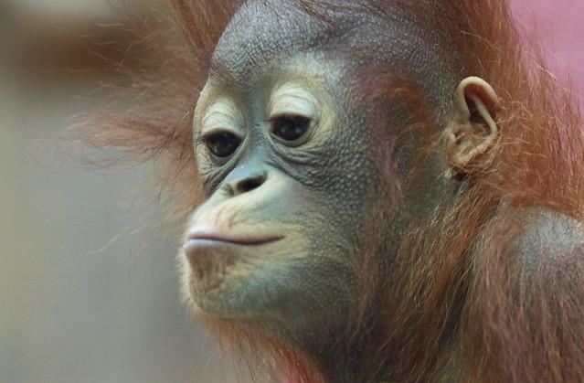 Borneo orangutan Minggu Ouwehand 094A1047