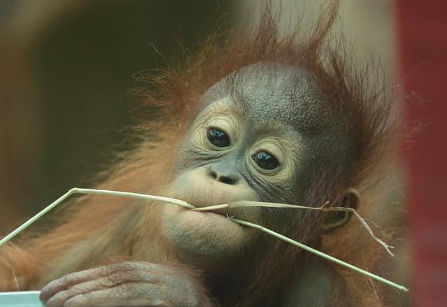 Borneo orangutan Minggu Ouwehand 094A1100