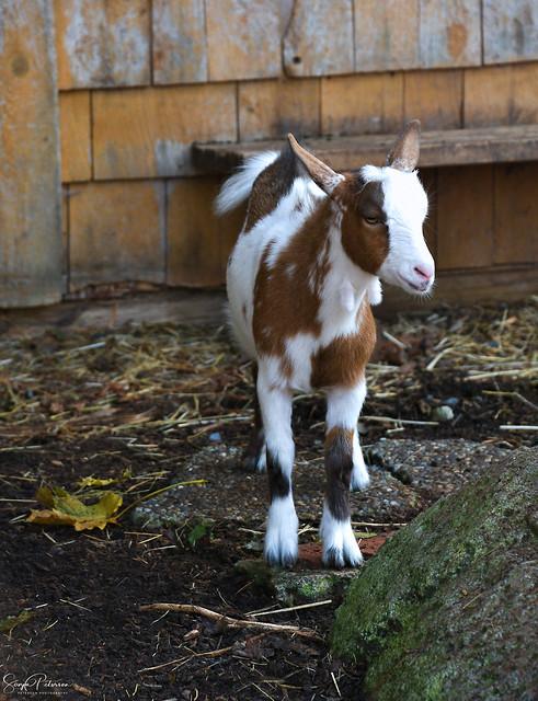 🐐Port Kells Nurseries Farm Animals