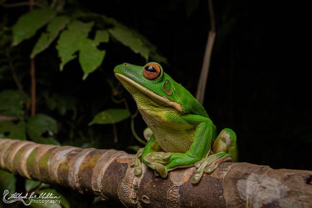 Nyctimystes (Litoria) infrafrenata (White-lipped Tree Frog)