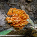 Chicken of the Woods Mushroom on a Tree Trunk