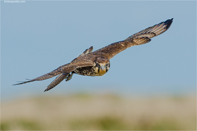 Brown Falcon: Adjusting in the Wind