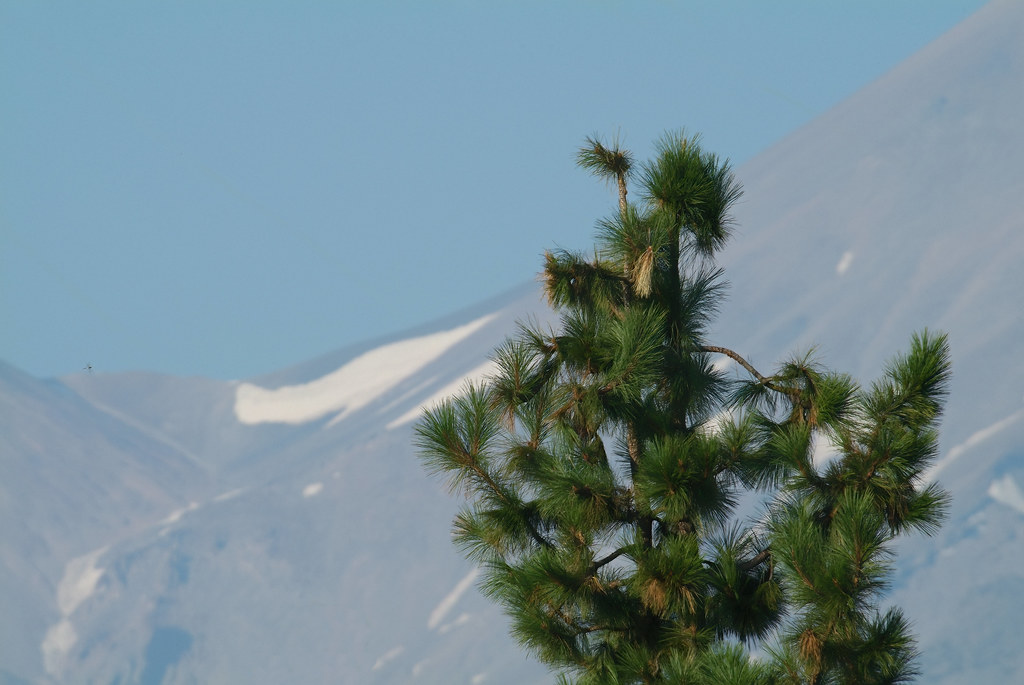A pine at Mount Shasta