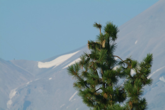 A pine at Mount Shasta