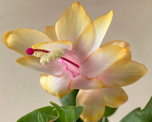 The 'Gold Charm' or Yellow Thanksgiving Cactus (the very rare YELLOW 'May flower') at home. | by ER's Eyes - Our planet is beautiful.