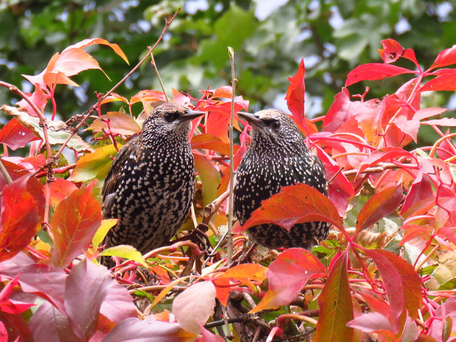Two Starlings/ Zwei Stare