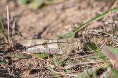 Oedipode Occitane – Oedipoda charpentieri