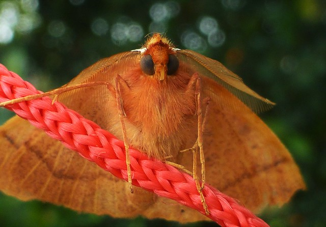 Mini Moth on a string..x