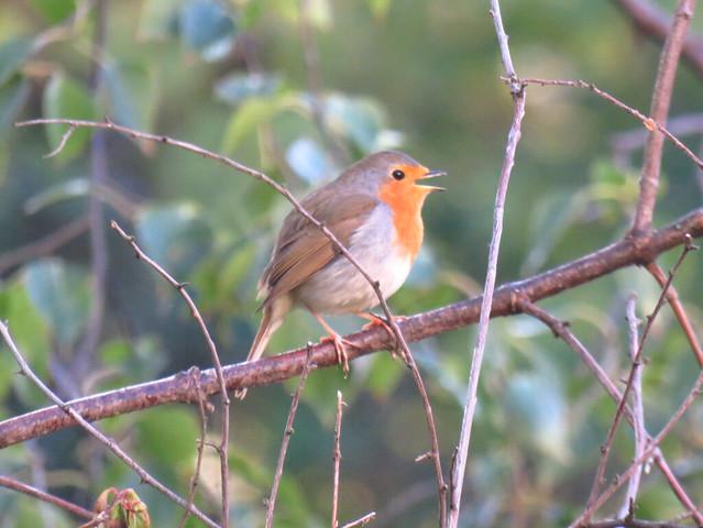 European Robin /Rotkehlchen