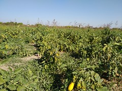 Eggplant harvest getashen berkazorahavak (7)