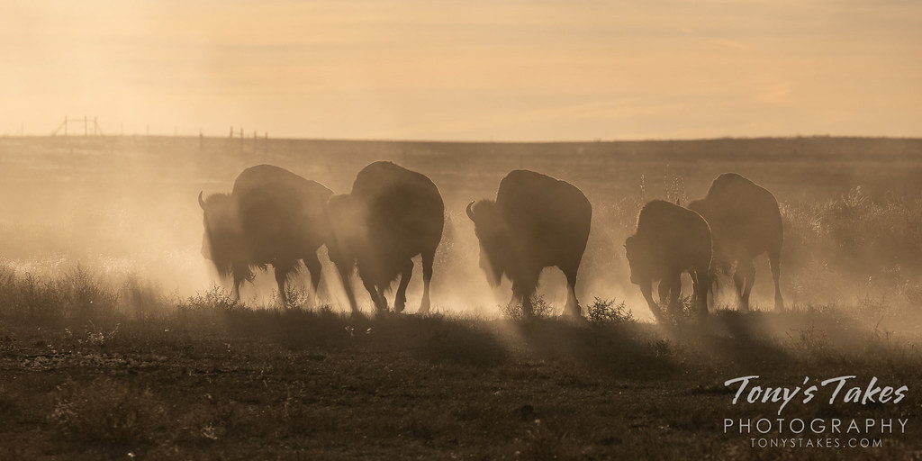 Bison on the move on the dry, dusty plains