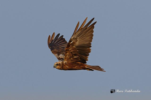 An Eurasian Marsh Harrier surveying / harrying over the grasslands