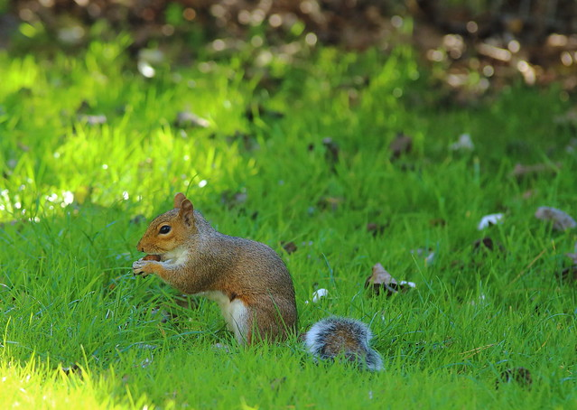European grey squirrel, Sciurus carolinensis
