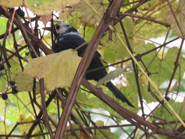 Eurasian Blackbird/ Amsel