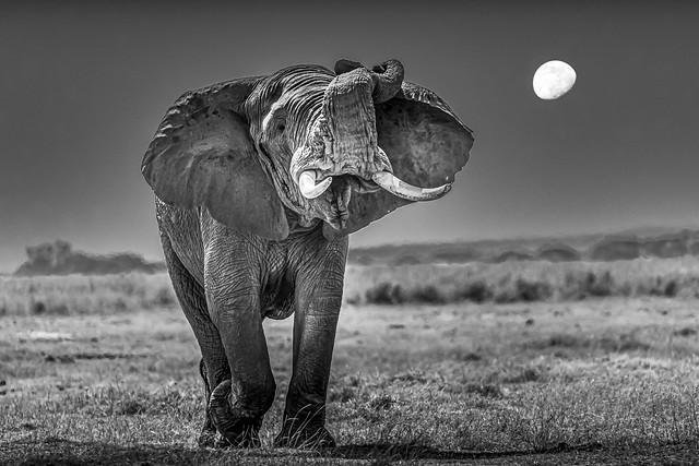 éléphant et la lune bw-2