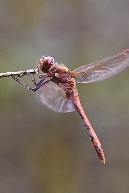 Common darter (M)Sympetrum striolatum)